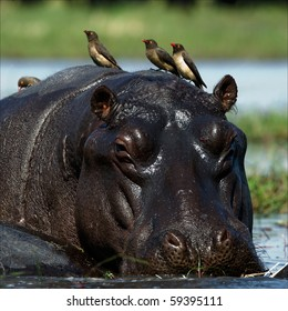 Passengers. The hippopotamus sits in a bog and on his back birds were attached.