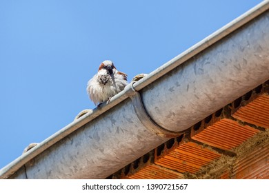Passer domesticus. Common Sparrow, male, on the roof.