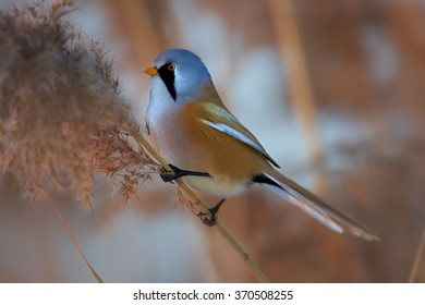 Passerine bird Bearded parrotbill Panurus biarmicus,very colorful male with  black moustaches,orange-brown body and long tail, perched on orange reed bed  in  warm evening light. Close up.Czech rep.