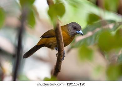 Passerini's Tanager (Ramphocelus passerinii) - female in Puerto Viejo de Sarapiqui, Costa Rica