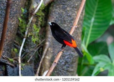 Passerini's Tanager (Ramphocelus passerinii) - male in Puerto Viejo de Sarapiqui, Costa Rica