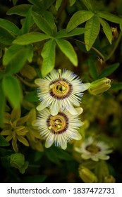 Passiflora caerulea, the blue passionflower, bluecrown passionflower or common passion flower, is a species of flowering plant native to South America.