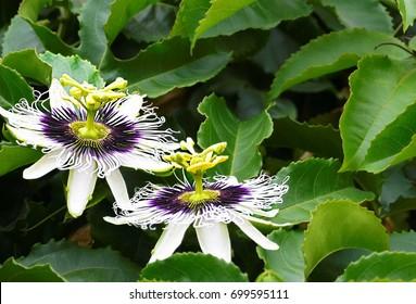 Passiflora edulis flower (Passion fruit, Maracuya, Granadilla, Lilikoi) in tropical garden