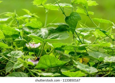 Passiflora foetida (Fetid passionflower, Scarletfruit, Stinking) ; A colorful of full blooming white flower with reddish in middle. Supported by nets sepal as placenta. also fruits & leaves on vine.