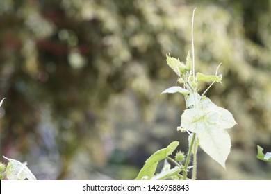 Passiflora foetida or wild maracuja,marya-marya, wild water lemon, stinking passionflower, love-in-a-mist, running pop
