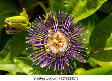 Passiflora incarnata, commonly purple passionflower is a fast growing perennial vine. Known as Krishna Kamal in India.