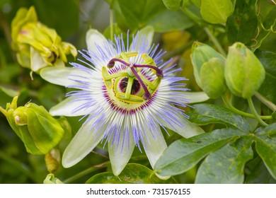 Passiflore flower