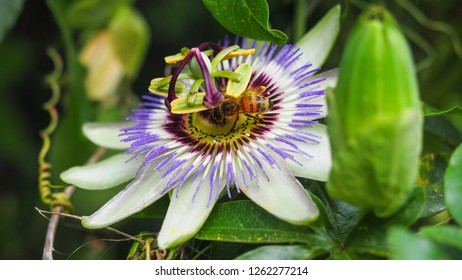 Passion Flower blossom. Exotic beautiful white and purple carpel flower of Passiflora Foetida or Caerulea. Passion vines or Wild Maracuja in the background of green leaves. Close up. Summer. Italy