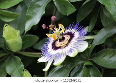 passion flower  caerulea close up