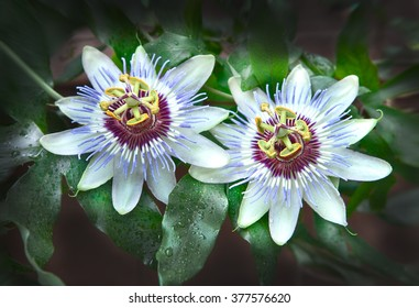 Passion flower, focus on stigma. Lat.name - Passiflora incarnata.