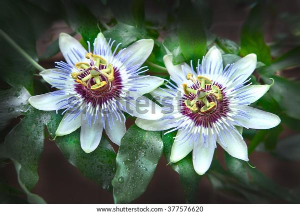 Passion flower, focus on stigma. Lat.name - Passiflora incarnata.