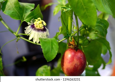 Passion flower and passion fruit