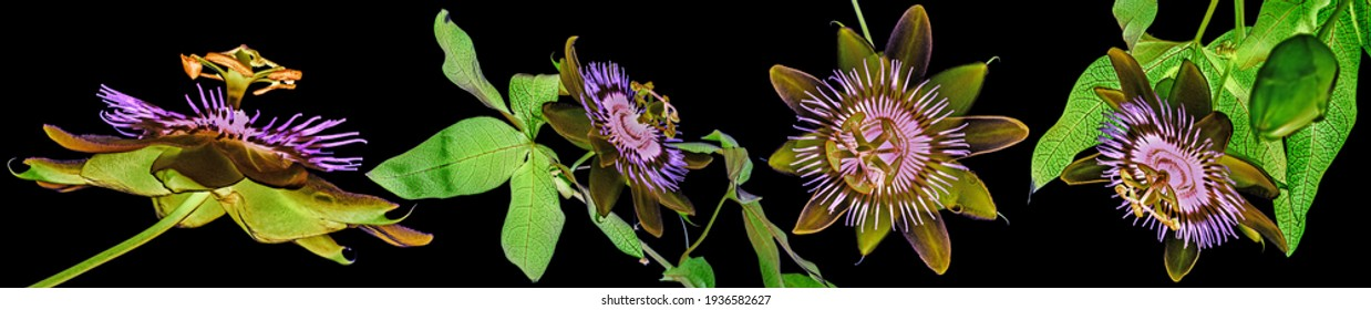 Passion  flower - passiflora isolated on black background