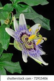 Passion Flower (Passifloraceae) - Studio Image