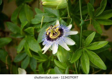 Purple flower with yellow center images stock photos vectors passion flower purple flower with yellow center mightylinksfo