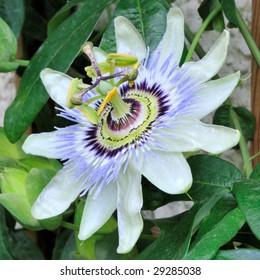 Passion Flower Vine (Passiflora) - Passifloraceae