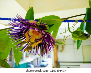 Passion Flower which is known as Passiflora and Krishna Kamal.