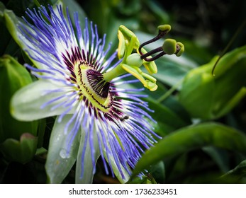 Passion fruit flower macro photography. Colourful passiflora with white, yellow, purple and green colours, blossoming in the tropical garden in summer.