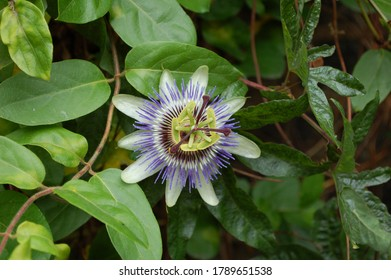 A passion fruit flower on a vine with large white petals and thinner purple petals which go from dark purple to white to lilac against a green foliage background in a garden.