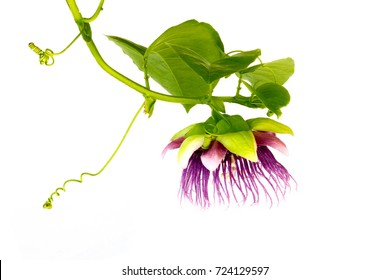 passion fruit flower (Passiflora) isolated on white background