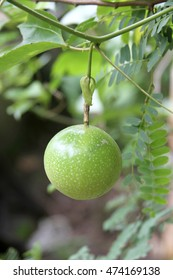 passion fruit green in color isolated