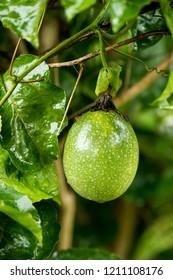 Passion Fruit, Jamaica honeysuckle, Yellow granadilla, fruits have medicinal properties