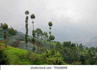 Passion fruit, Maracuja, Passiflora edulis, on the vine in plantations, near El Jardin, Antioquia, Colombia, South America