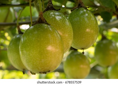 passion fruit raw in the garden, select fuocus