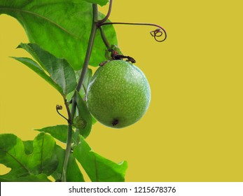 Passion Fruit,Jamaica honey-suckle or Yellow granadilla hang on tree. Green unripe passionfruit on the vine isolated on white background. Clipping path