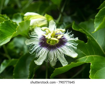 Passionflower in a jungle