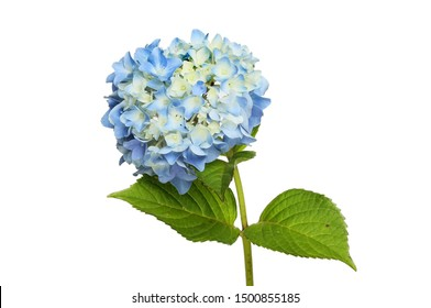 Pastel blue mophead hydrangea flower and foliage isolated against white