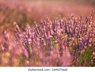 pastel colored  lavender field closeup  in Provence, south France at sunrise