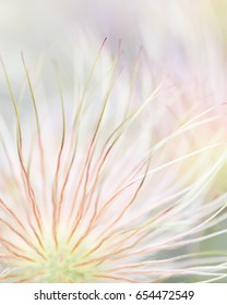 Pastel colors of Pulsatilla seed head