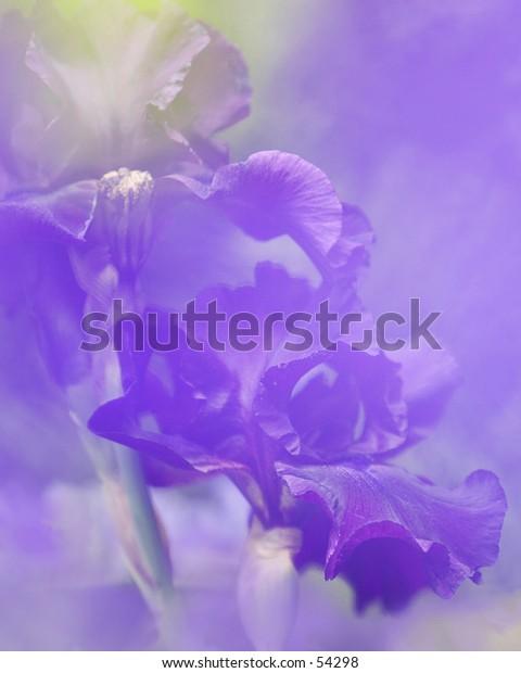 Pastel iris.