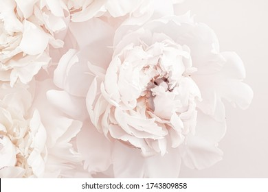 Pastel peony flowers in bloom as floral art background, wedding decor and luxury branding design - Shutterstock ID 1743809858