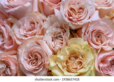 Pastel pink roses texture, top view, close up