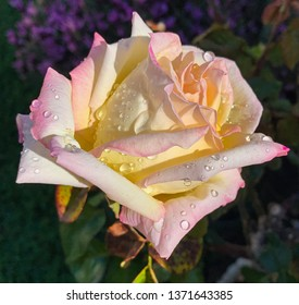 a pastel rose with raindrops