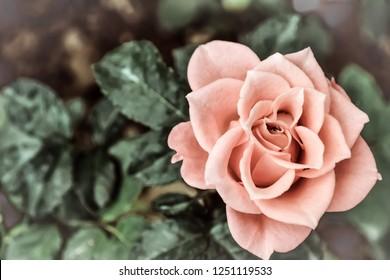 Pastel rose in the summer garden. Flower background. The white haze effect.