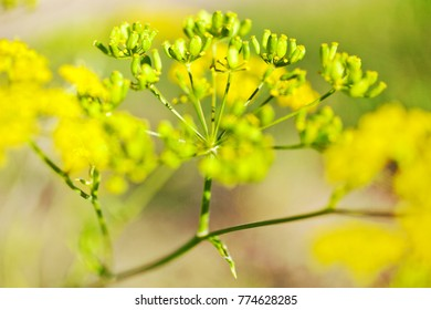 Pastinaca sativa / parsnip - garden and meadow plant