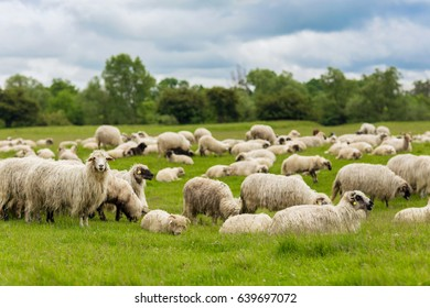 Pastoral scene - a flock of sheep