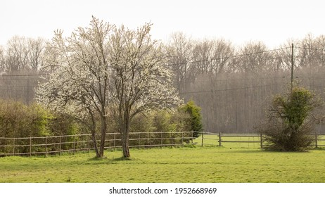 Pasture and bocage in a beautiful countryside in the north of France. Beautiful backlight on a spring morning. Hedges with young green leaves and hawthorns covered with small white flowers