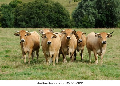 pasture cow aubrac