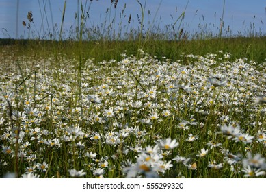 Pasture in daisy blossom