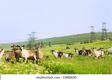 Pasture with funny goats with electrical towers on background