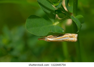 Pasture Grass-veneer Moth trying to hide under a small  leaf. Todmorden Mills, Toronto, Ontario, Canada.