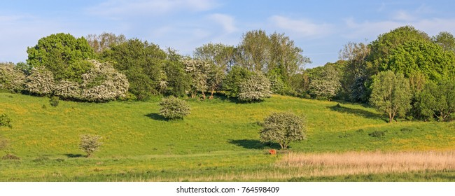 Pasture with hawthorn and flowering buttercups and one Highland cattle. Spring landscape near Lütjenburg  in Schleswig-Holstein, Germany.