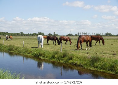 Pasture landscape. Horses grazing in the meadow in May in the Netherlands. Near the village Bergen in North Holland and the dunes.