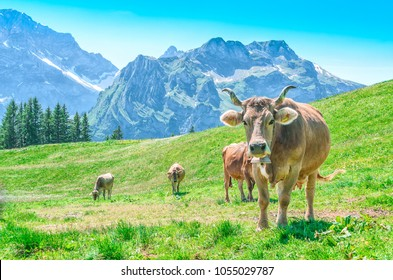 Pasture with large horned animals and a cow bell ringer. Landscape Meadow in the alps of Switzerland with Alpine cows.
