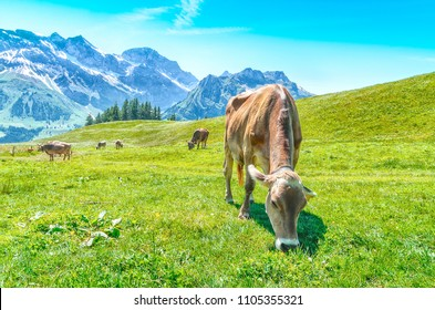 Pasture with large horned animals. Meadow in the alps of Switzerland with Alpine cows chewing green grass.