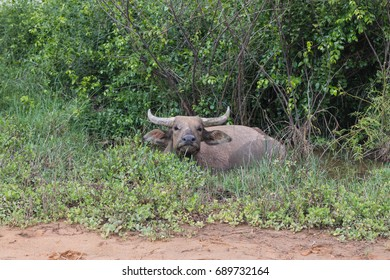 Pasture raised Asian water buffalo. free range husbandry.